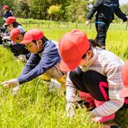 野生絶滅のサギソウを小学生と植え付け