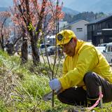 輪島を緑にあふれた町に 計100本の桜の植樹