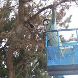 ライオンズ公園で松くい虫被害木を伐採